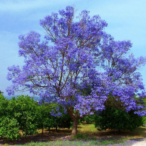 Blue Jacaranda Tree -20 seeds