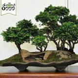 Japanese Cypress Bonsai seeds-10