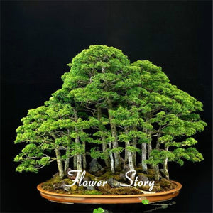 Juniper Bonsai- seeds=5