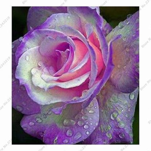 Light Purple and Pink Rose