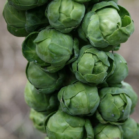 Non-GMO Long Island Brussell Sprout seeds