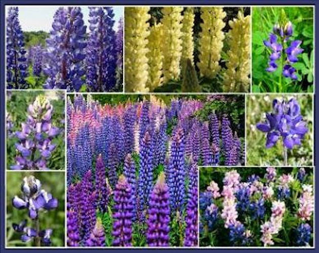 Lupine collection mixed- seeds