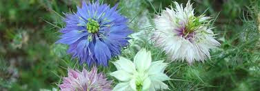 LOVE IN THE MIST-- MIXED Color seeds