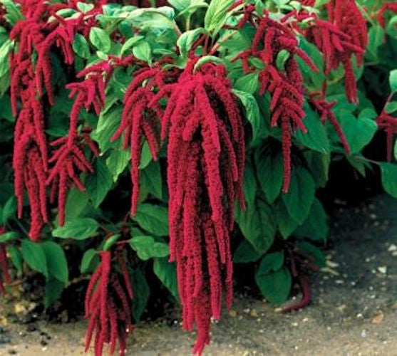 Love lies Bleeding  seeds Appox. 300