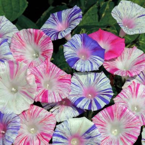 Morning Glory- Harlequin Mix seeds