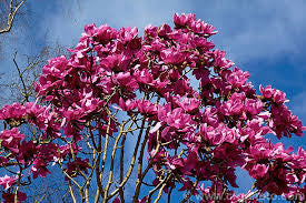 **RARE LIMITED SUPPLY!! Pink Magnolia Campbellii seeds