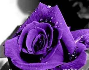 Majestic Purple Rose Seeds Approx. 12