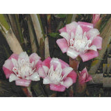 Malay Rose Torch seeds Approx 5