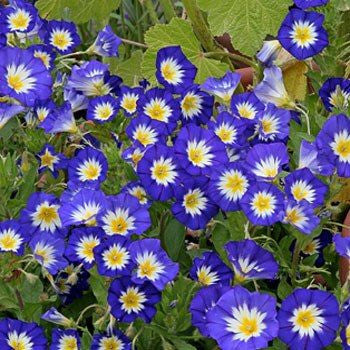 "Morning Glory ""Royal BLUE Dwarf"" seeds Approx 10"