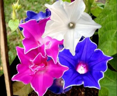Morning Glory- Kikyo ZAKI- approx 10 seeds