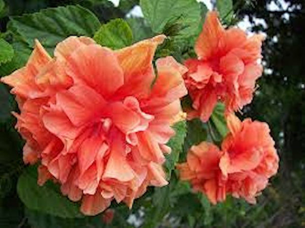 Orange Fluff Hibiscus -seeds