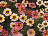 """Painted Daisy"" seeds"