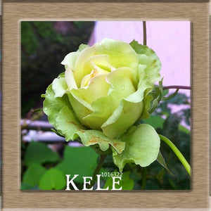 Pale green rose -seeds