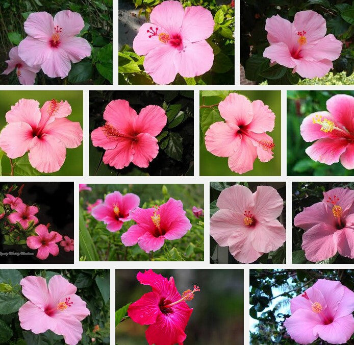 Pink Hibiscus mix- seeds Approx. 20