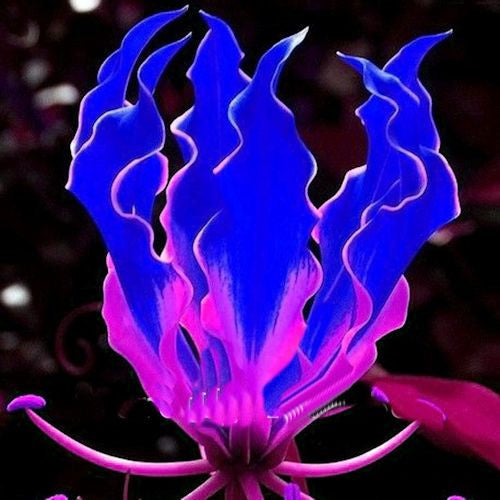 Pink and Blue Flame lily seeds