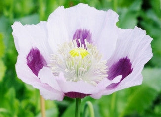 Blue Moon Poppy Seeds - Approx 200