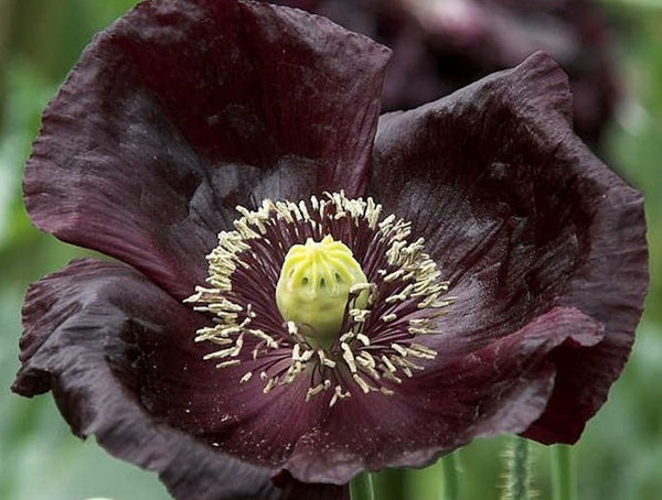 "Poppy ""midnight"" seeds"
