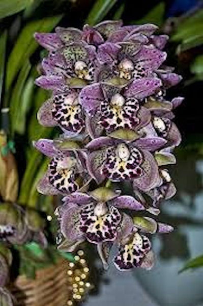 Purple Spotted Cymbidium- seeds