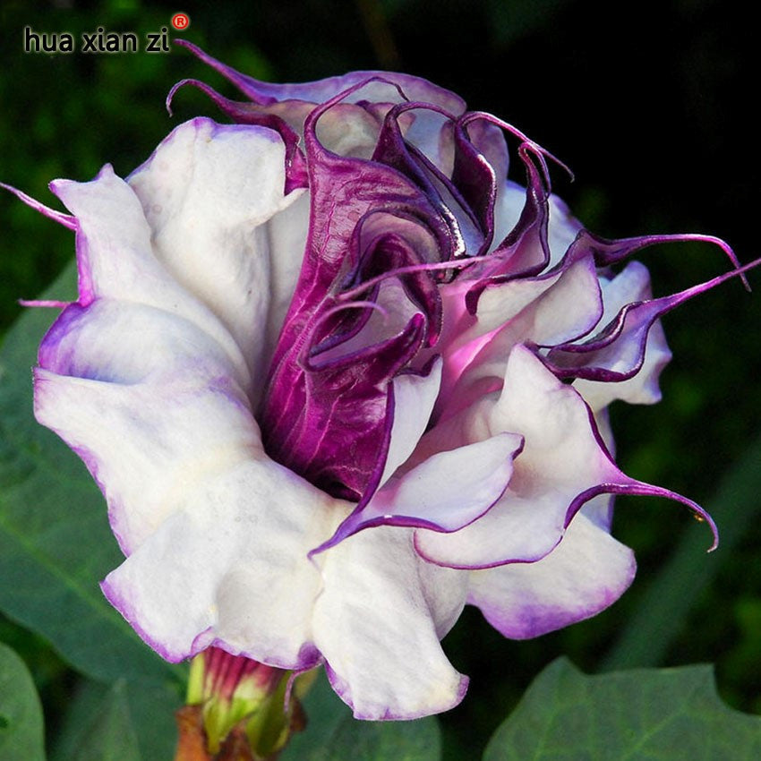 Name: Purple Datura Seeds,