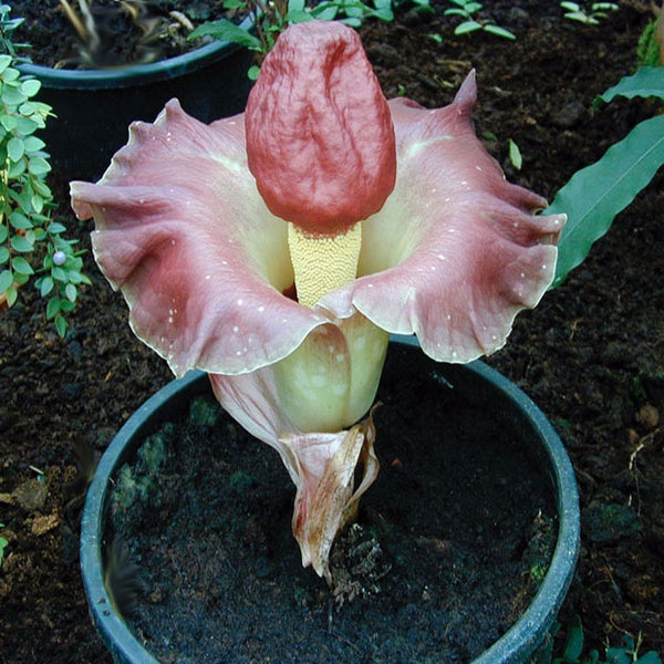 5 Red Arum Lily seeds