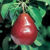 Red Anjou Pear Tree seeds