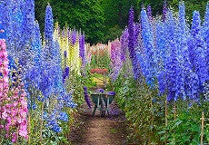 Larkspur Tall mix seeds Approx.100