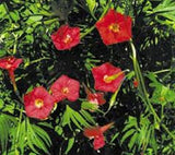 """ SCARLET O'HARA"" Morning glory seeds- Approx 10-12"