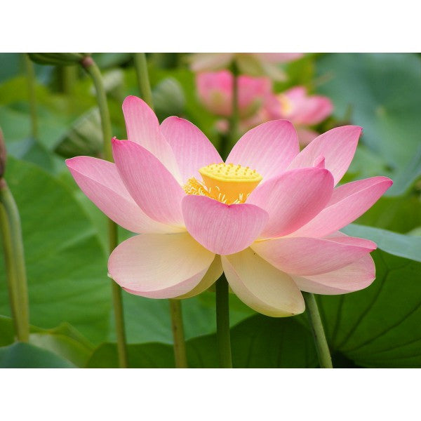 Rare Pink Lotus flower-seeds