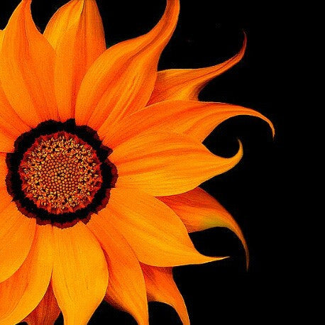 """ORANGE SUN"" SUNFLOWER seeds Approx 10"