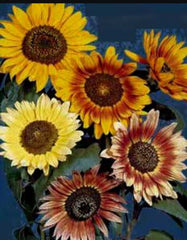 "20 ""Autumn Bounty"" Sunflower seeds"