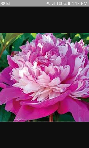 All Pinks Peony Mixed seeds