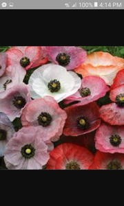 Angel's Choir Poppy seeds -Approx 200 seeds