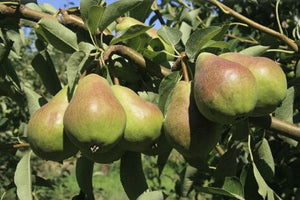 Bartlett Pear Tree seeds-5