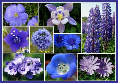 """SINGING THE BLUES""  Wildflower Mix seeds"