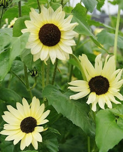 "Sunflower- "" Ice Cream"" - Approx. 30 seeds"