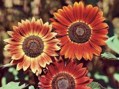 Indian Blanket Sunflower Seeds- Approx 12