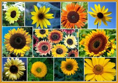 20 SUNNY SUNFLOWER MIX seeds