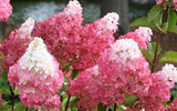 Vanilla Strawberry Hydrangea seeds