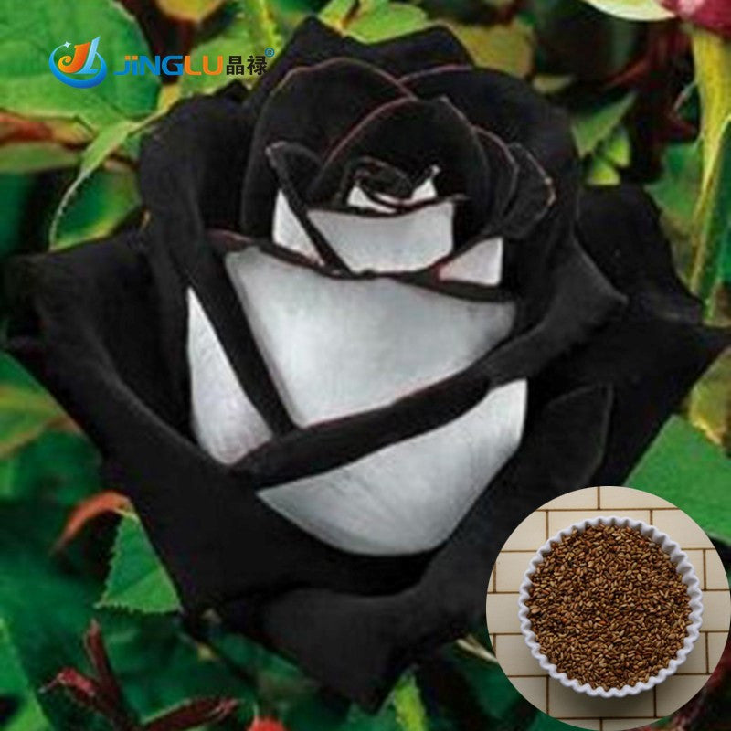 Black tipped white rose seeds- Approx 5