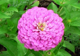 "50 Zinnia ""Miss Willmott""  seeds"