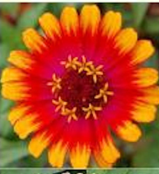 Zinnia -SWIRL MIX - Approx 20 seeds