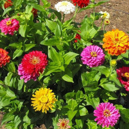 Zinnia Seeds - California Giants