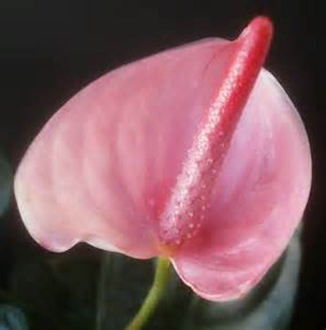 Mixed Anthurium seeds Pinks and Reds
