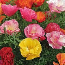 California Poppy seeds -Ballerina Mix