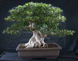 Banyan Bonsai seeds