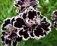 Carnation- Black white tipped seeds - Approx15