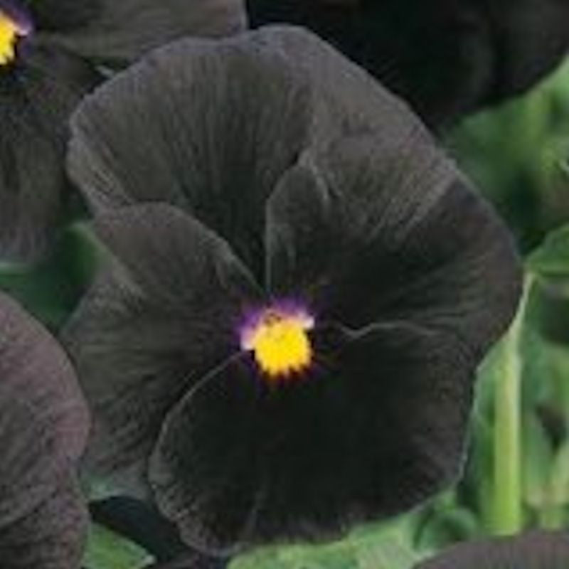 Black Pansy seeds
