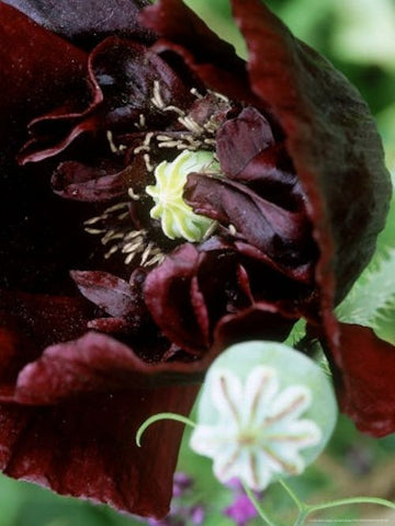 Black Turkish Poppy seeds- Approx 200