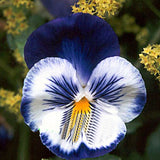 Blue/White Hardy Pansy