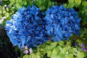 Beautiful Blue Hydrangea seeds- approx 20